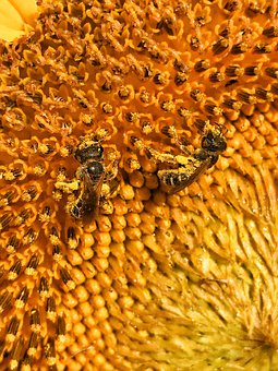 Honey, Bees, Sunflower, Insect, Nature, Nectar, Pollen