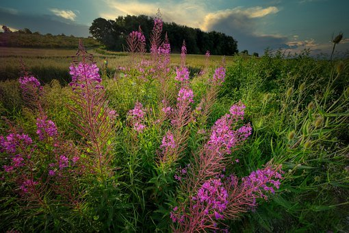 Wild Flower, Nature, Plant, Meadow, Pasture, Blossom