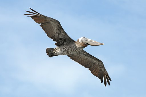 Flying, Pelican, Bird, Nature, Wildlife, Wings, Beak