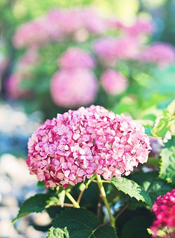 Fresh, Flowers, Pink, Garden, Hydrangeas, Summer