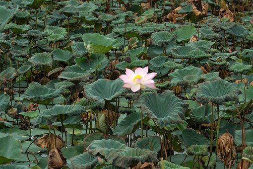 White Lotus, English Lotus, Pink, Green, Buddhism