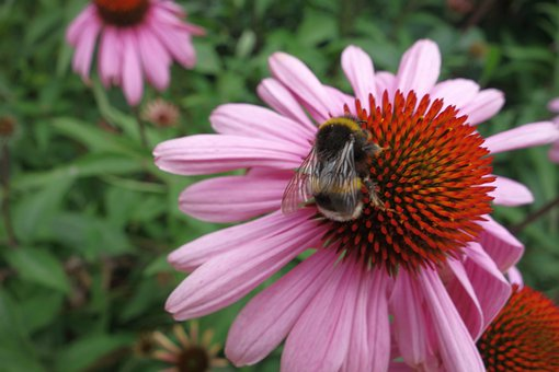 Echinacea, Coneflower, Bee, Insect, Plant, Flower