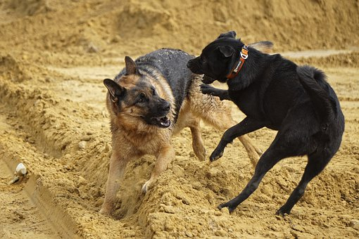 German Shepherd, Dogs, Playing, Game Fight