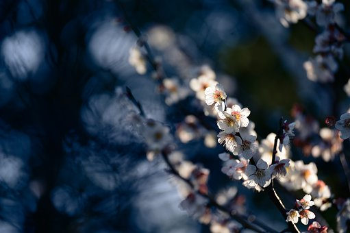 Landscape, Plant, Natural, Flowers, Plum, Japan