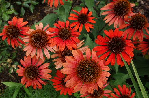 Echinacea, Coneflower, Red, Plant, Flower, Blossom