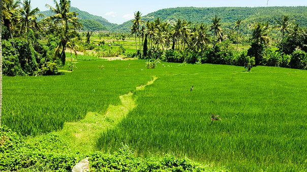 Agriculture, Rice Fields, Field, Bali, Rice Plantations