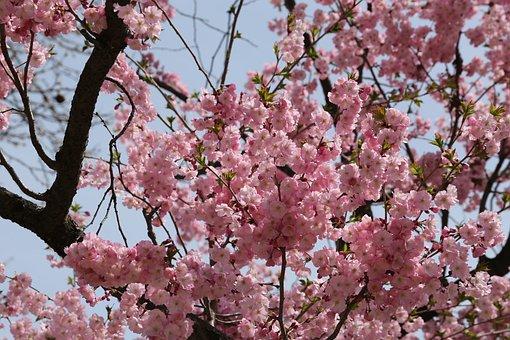 Cherry Blossom, Spring, Sakura, Tree, Branch