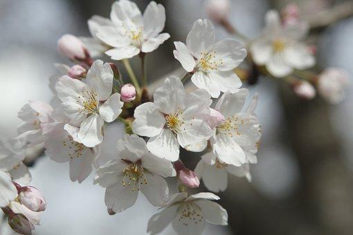 Cherry Blossom, White, Blossom, Flowers, Spring