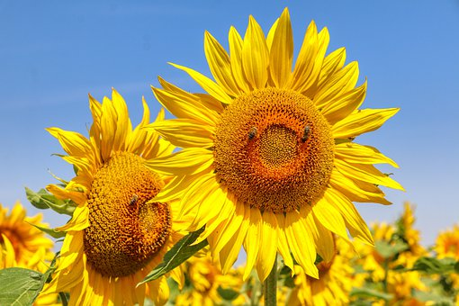 Sunflower, Yellow, Blossom, Bloom, Flowers, Sunshine