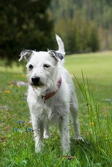 Dog, Terrier, Pet, Parson Russell Terrier, Animal, Cute