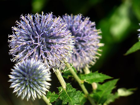 Flowers, Thistles, Nature, Plants, Thorny, Insects