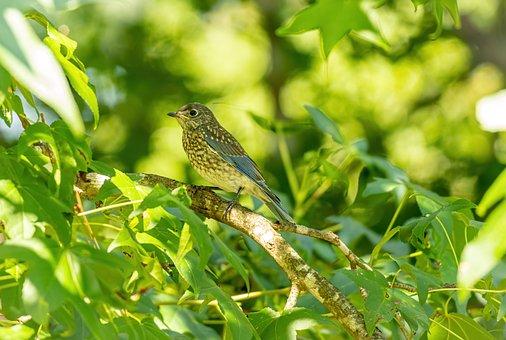 Bluebird, Bird, Tree, Young Bluebird, Eastern Bluebird