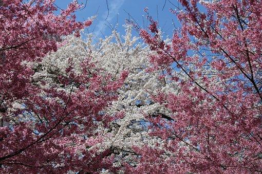 Cherry Blossom, Spring, Sakura, Pink, Tree, Branch