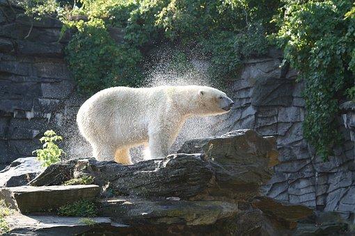 Bear, Polar Bear, Zoo, Water, Predator, Mammal, White