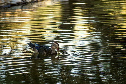 Duck, Highlights, Reflection, Pond, Lake, Waters