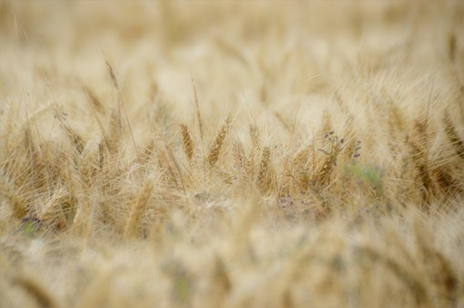Wheat, Spikes, Cereals, Agriculture, Summer, Nature