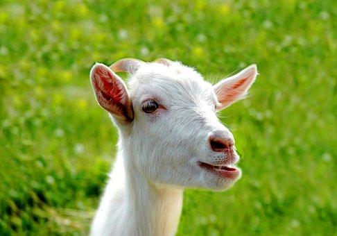 Nature, Goat, Portrait, Animals, Kid, Green Grass