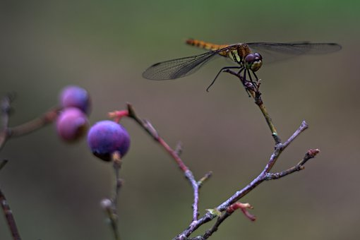 Dragonfly, Wings, Insect, Bug, Animal, Blueberries
