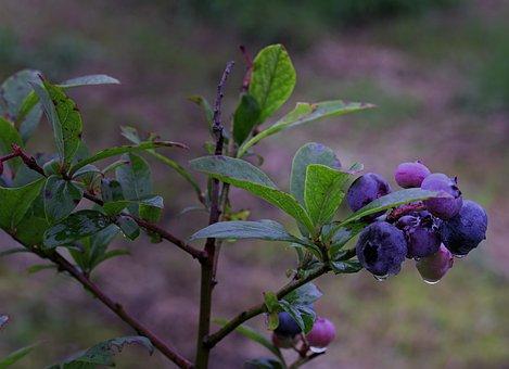 Blueberry, Berries, Fruit, Fresh, Tree, Branch, Leaves