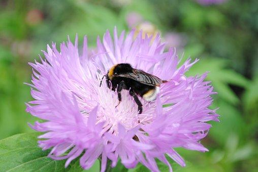 Flower, Petals, Bee, Bumblebee, Wings, Bug, Insect