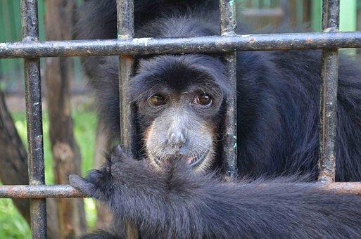 Monkey, Ape, Emcaged, Cage, Animal, Captured, Indonesia