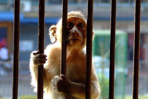 Monkey, Encaged, Bars, Sunlight, Caged, Hands, Ape