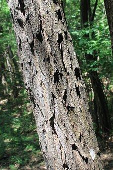 Acacia, Bark, Black, Locust, Logs, Robinia, Tree