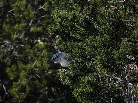 Western Scrub-jay, Bird, Grand Canyon, Blue, Jay, Tree