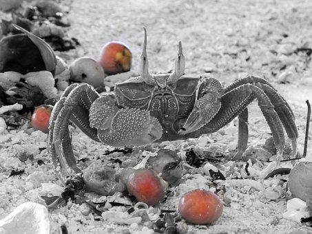 Crab, Black And White, Berries