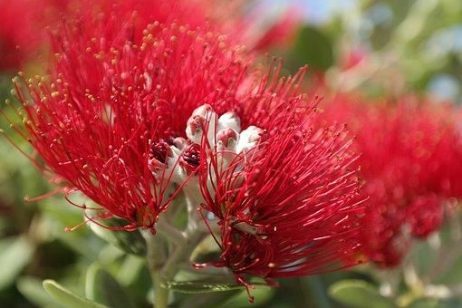 Blossom, Bloom, Red, Flowers, Ironwood Tree, Christmas