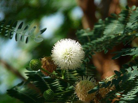 Acacia Flowers, Blossom, Bloom, White, Ball, Acacia