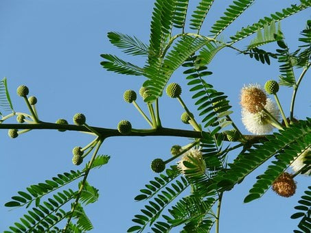 Acacia Flowers, Blossom, Bloom, Inflorescences, Leaves