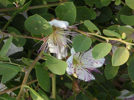 Capture Plant, Capture, Bush, Blossom, Bloom