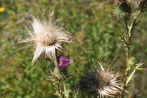 Thistle, Plant, Weed, Natural, Flora, Leaf, Blossom