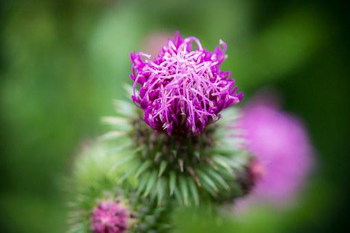Thistle, Bud, Blossom, Bloom, Ring Thistle