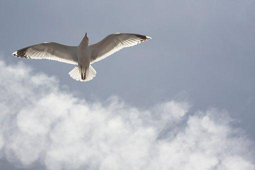 Seagull, Blue Sky, Freedom, Air, Fly, Bird, Sky, Free