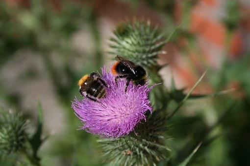 Bumblebees, Thistle, Spur, Flower, Beautiful, Wild
