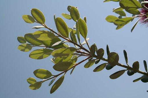 Leaves, Ironwood Tree, Christmas, Green