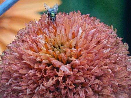 Coneflower, Cone, Flower, Nature, Plant, Echinacea