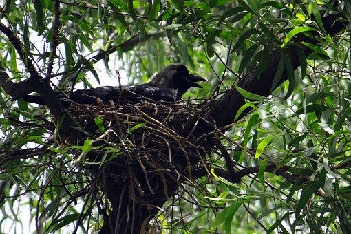 Crow, Bird, Indian House Crow, Corvus Splendens