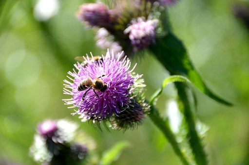 Bee, Diestel, Close Up, Insect, Honey, Nature