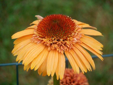 Coneflower, Echinacea, Flower, Plant, Summer, Purple