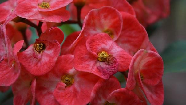 Eight Immortals, Flowers, Red, Tropical, Exotic, Pink