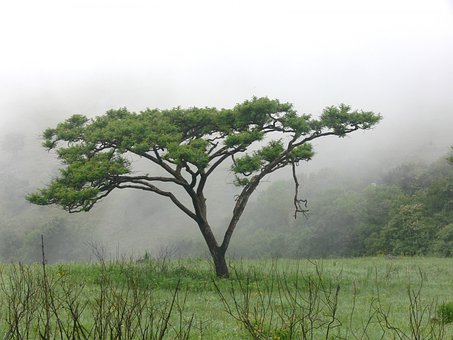 Acacia, Tree, Field, Mist, Misty, Grass, Thorntree