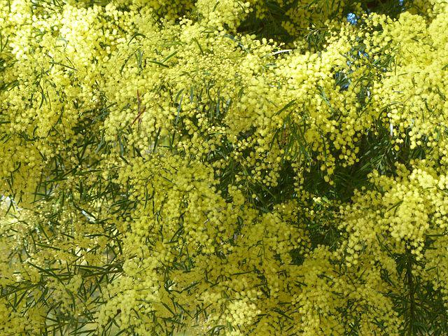Acacia, Wattle, Yellow, Flower, Flora, Blossom, Foliage