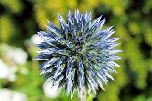 Globe Thistle, Echinops, Bud, Flower, Blue, Close Up