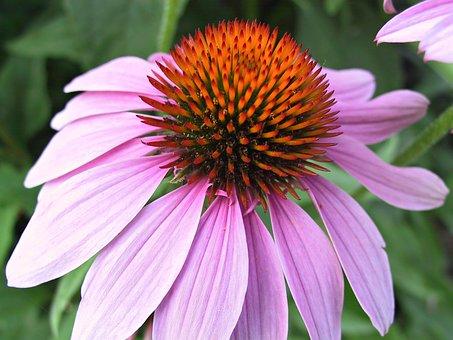 Echinacea, Flower, Pink, Coneflower, Purple, Herbal