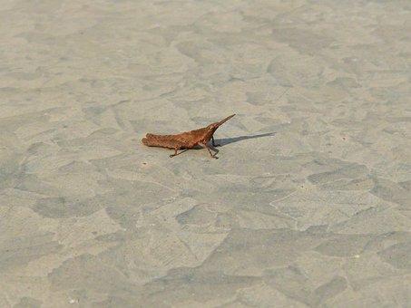 Grasshopper, Small, Galvanized Iron, Insect, Pardo