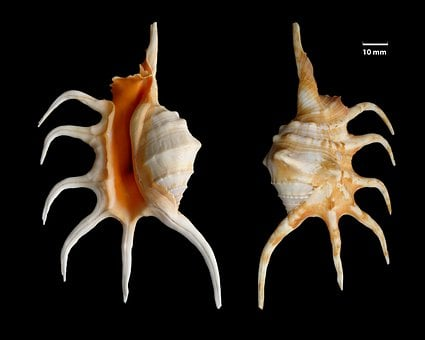 Shell, Knobbed Conch, Lambis Crocata, Snail Shell