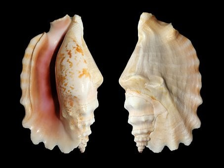 Knobbed Conch, Snail, Shell, Sinustrombus Sinuatus